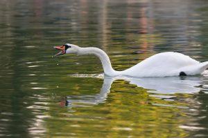 Beautiful swan reflection while yelling.