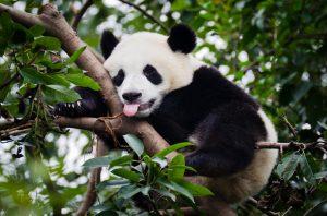 iStock-184987985-panda-300x198